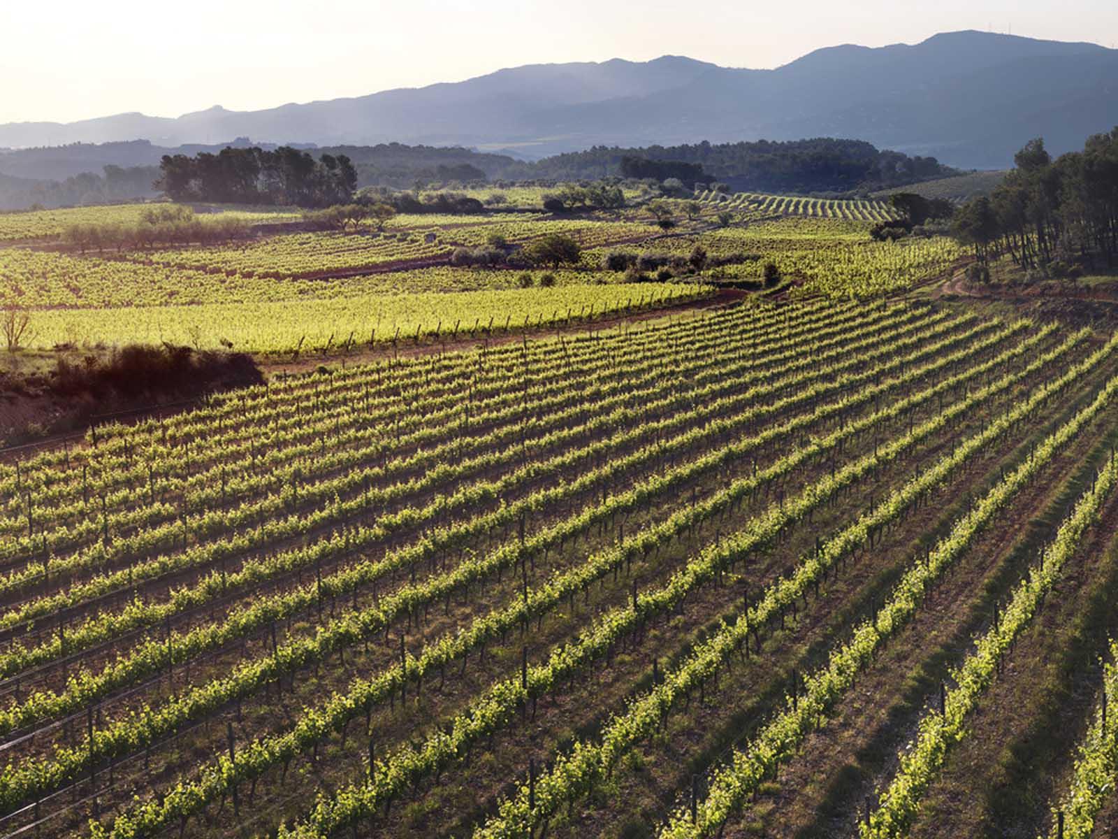 Vinyes de Sant Sadurní d'Anoia. FOTO: Cedida
