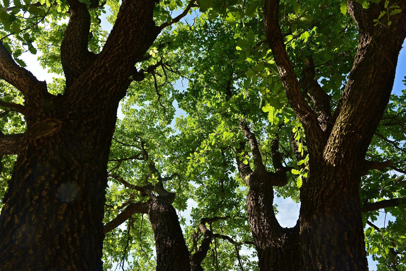 En el bosc hi predominen els pins i les alzines FOTOS: Tino Rubio