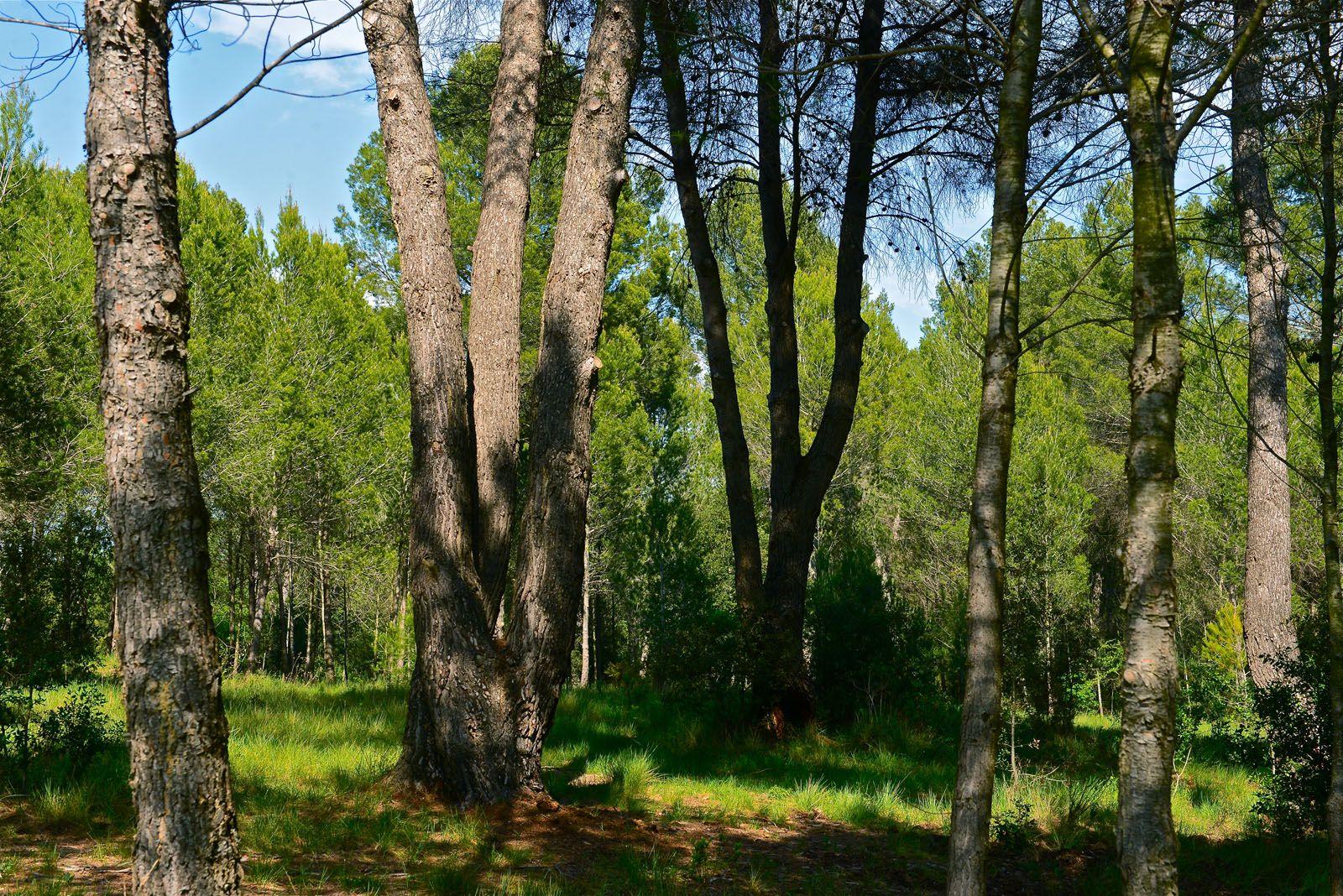 En el bosc de Volpelleres hi predominen els pins i les alzines