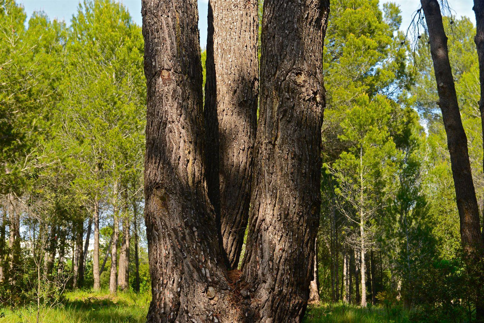 Hi ha molts exemplars amb més de dos troncs principals