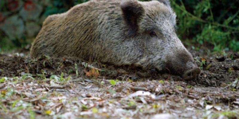 Més de 2.000 animals abatuts per la caça a Collserola