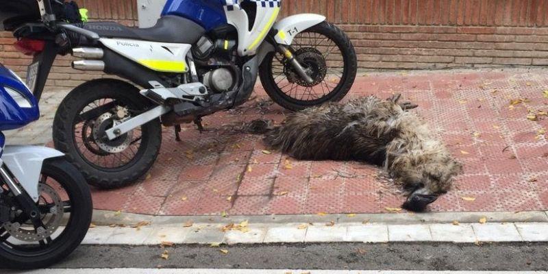 Emú als carrers de Sant Cugat