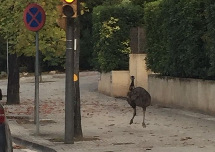 Emúcorre als carrers de Sant Cugat. FOTO: Cedida