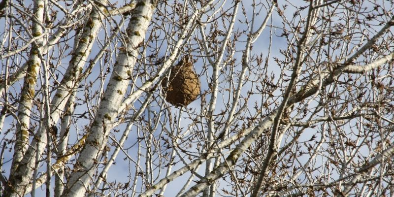 Localitzen un rusc de vespa asiàtica a Valldoreix