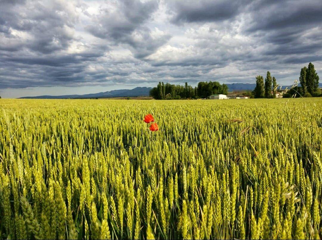"""""""Roselles en mig d'un camp de blat verd"""" a Bercimuel, Segovia. Foto: Lucas Moreno Sanz."""