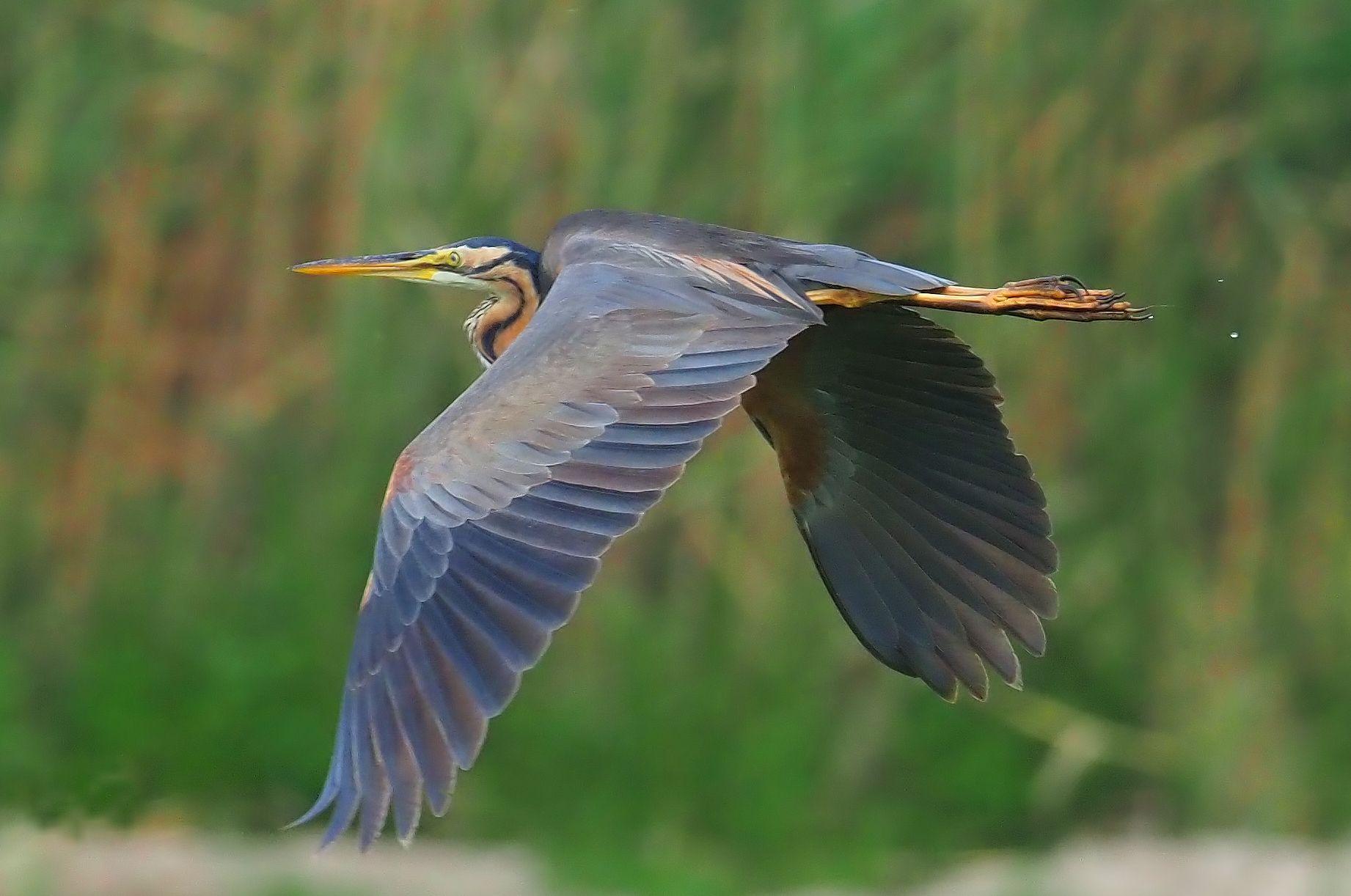 Agró roig alçant el vol al Parc Natural del Delta de l'Ebre. FOTO Ramon Cami Caldés