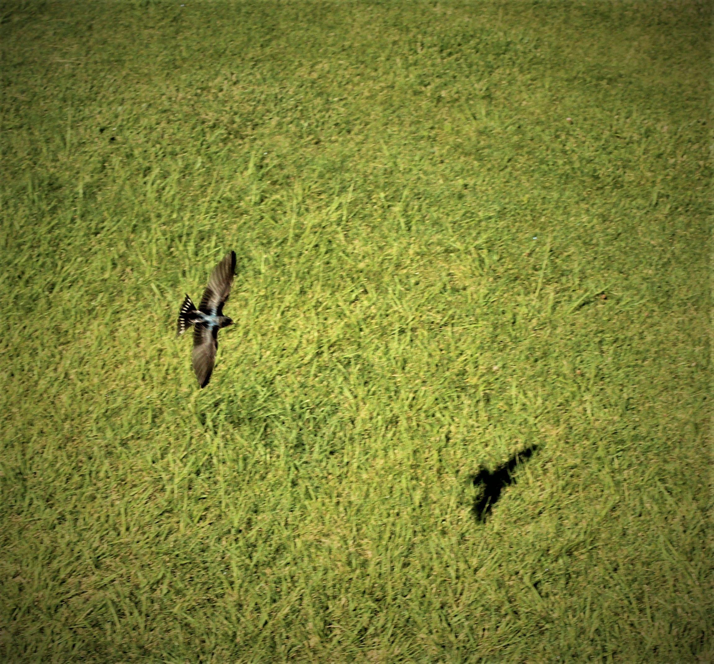'El vol de l'oreneta' feta a Puig Reig. FOTO: Jaume Asens Passarrius