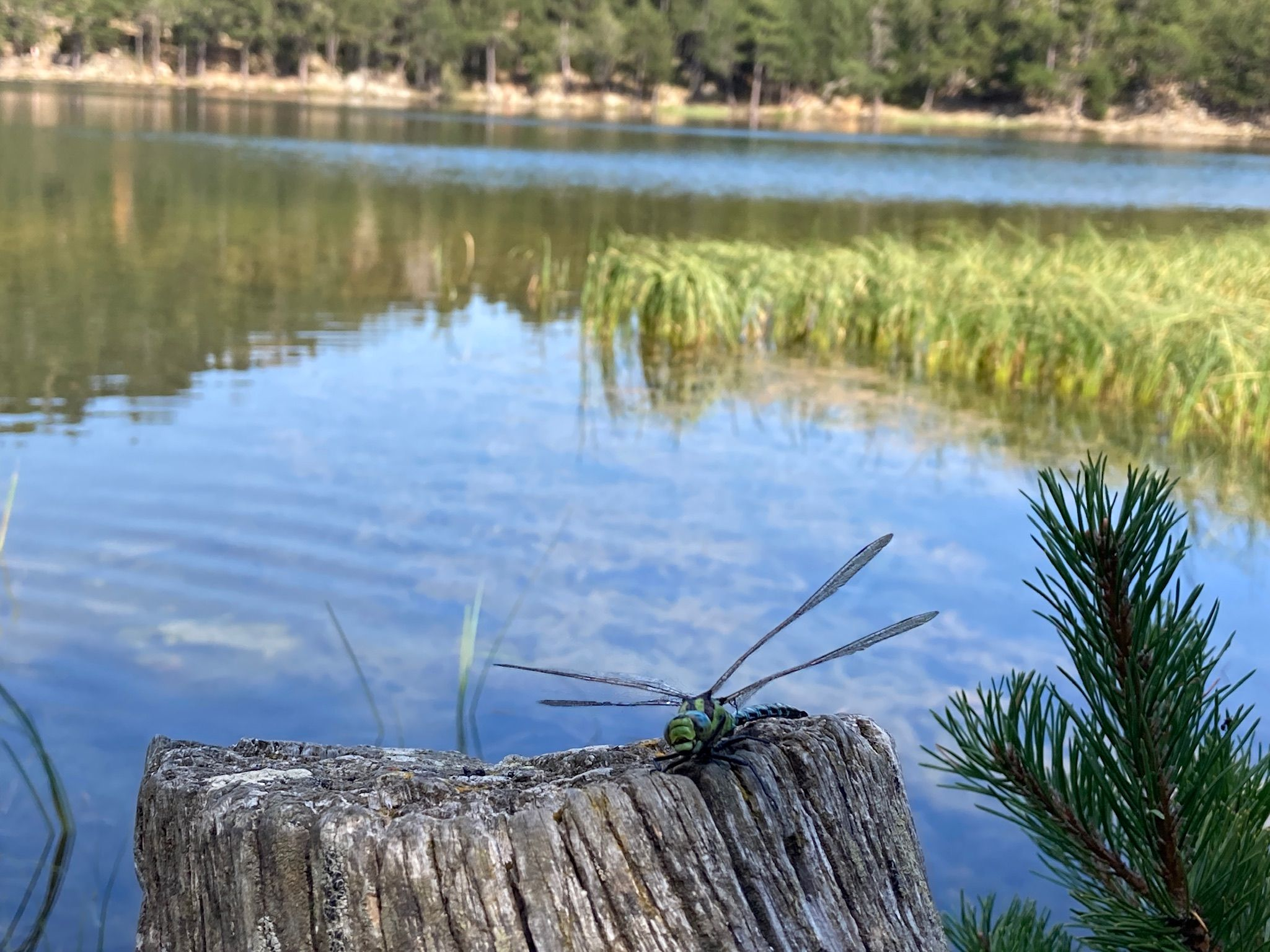 Libélula en un llac Francia, lac de Balcère#Xavier Moreno i Navarro 173